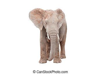 白, 象, 隔離された, 女性, アフリカ