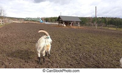 Spotted goats on the farm