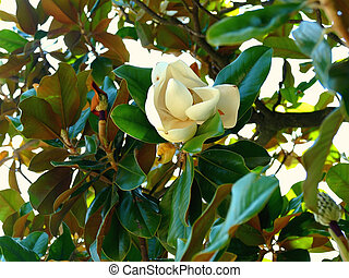 Southern Magnolia Flower - Southern Magnolia Tree Flower