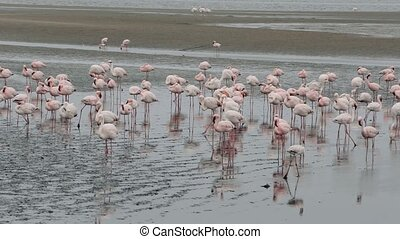 Rosy Flamingo colony in Walvis Bay - Huge colony of Rosy...