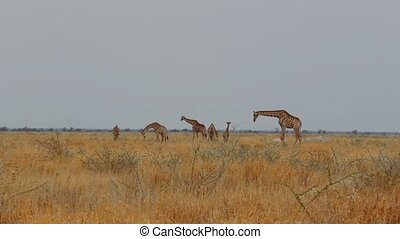 Giraffa camelopardalis grazing on t - herd of giraffa...