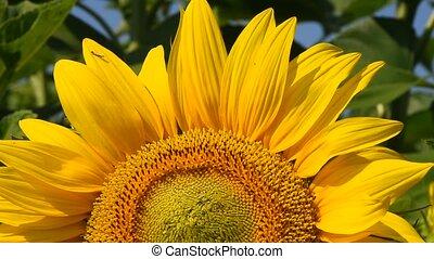 One yellow sunflower over green buds close up - One open...