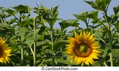 One yellow sunflower over green buds and blue sky - One open...