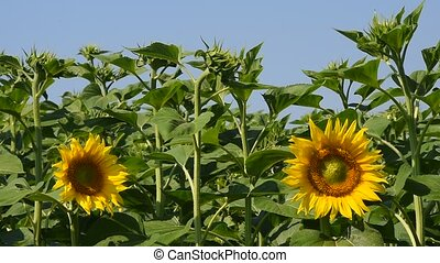 Two yellow sunflowers over green buds and blue sky