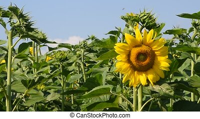 One yellow sunflower over green buds and blue sky