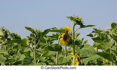 Green young new sunflower buds over blue sky - Green young...