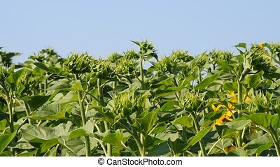 Green young new sunflower buds over blue sky