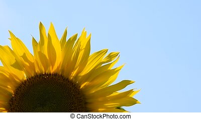 One yellow sunflower over blue sky close up