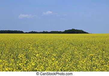 Oil seed rape field under the summer sky