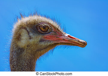 Portrait of Ostrich against the Blue Sky