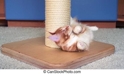 Maine Coon kitten play - Cute red Maine Coon kitten at home,...