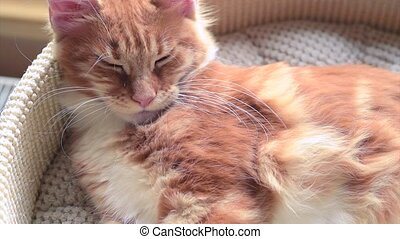 Maine Coon kitten sleep - Cute red Maine Coon kitten...