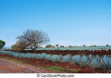 Lanscape tequila guadalajara - Agave field
