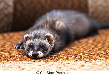 Funny ferret lying on bed