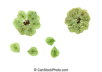 Pressed and dried flowers elm Isolated on white background...