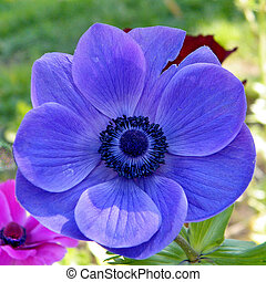 Ramat Gan Park Blue Crown Anemone isolated 2011 - Blue Crown...