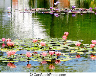 Ramat Gan Wolfson Park pink and purple lotus 2011 - Pink and...