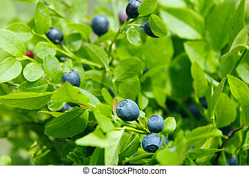 bush with bilberry in the forest - green bush with bilberry...