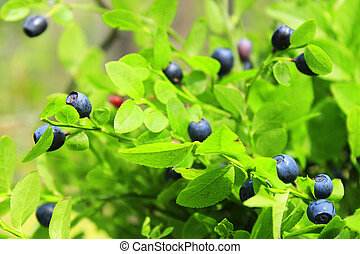 fruits of bilberry in the forest - green bush with bilberry...
