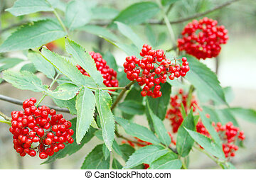 clusters of wolf berries Sambucus racemosa - branch with the...