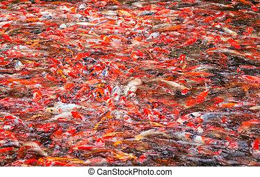 Koi Carps in the pond