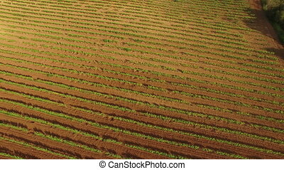 Vineyard Fields at Sunset Aerial - Drone aerial view of a...