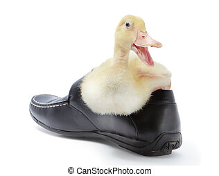 Laughing duckling in shoe - Duckling or gosling sitting at...