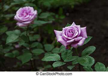 Purple Rose blossom in the garden in summer