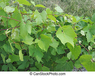 Vitis (Grapevine) plant - Vitis (Vitaceae) aka vine or...