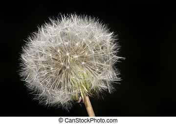 Dandelion Blowball Cutout - Dandelion Plant Blowball...