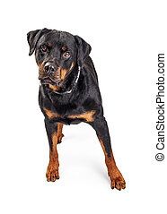 Beautiful Rottweiler Dog Over White - Pretty large...