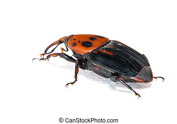 weevil snout beetle - female brown palm weevil snout beetle,...