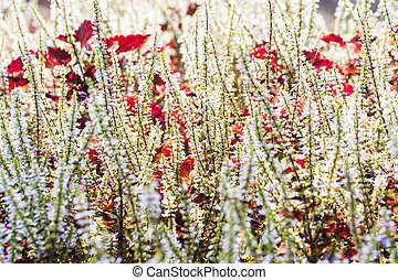 Background of Skullcaplike Coleus blooming