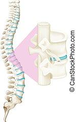 Close up spine bone illustration