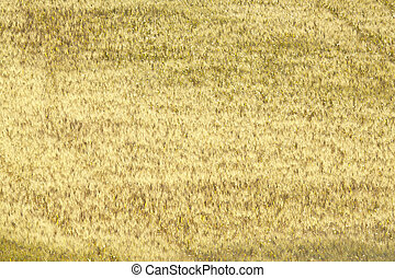 Yellow quater - Yellow dry meadow in Sicilian countryside....