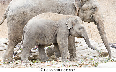 Young asian elephant (Elephas maximus) with its mother