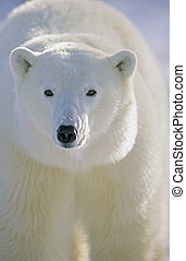 Polar Bear, Churchill, Manitoba, Canada - Polar Bear Ursus...