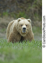 Big Brown Bear showing teeth McNeil River Alaska - Brown...