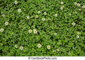 Green clover grass background - Green clover grass with...