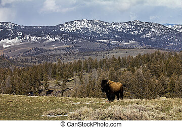 Lone Bison Standing on Ridge - A lone bison stands on a...