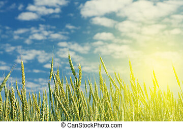 Gold wheat field and blue sky
