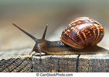 Burgundy snail aka Helix pomatia crawling on an old wooden...