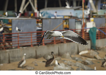Kelp Gull in Flight - Kelp Gull Larus dominicanus flying...