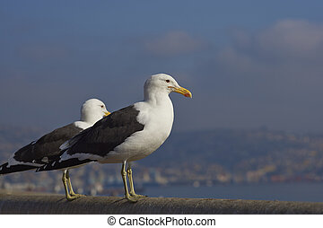 Kelp Gulls Larus dominicanus perching on a railing at the...