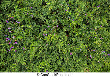 Grass with purple flower backgrond. - Green grass with...