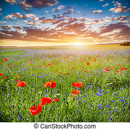 Poppy field, summer countryside landscape at sunset