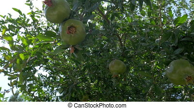 Woman touching unripe pomegranates on the tree - Close-up...