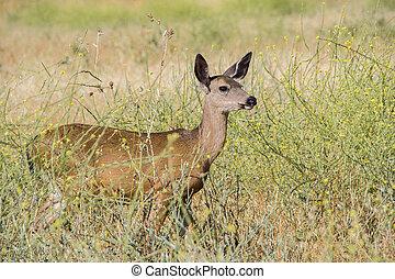 Black Tail Deer Female