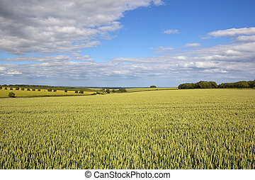 yorkshire wolds wheat crop - vast wheat fields in the...
