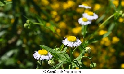Wild meadow chamomile flowers in wind over green
